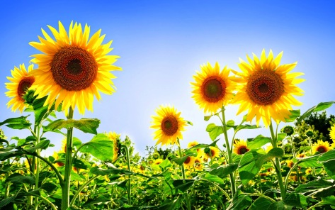 gorgeous_sunflowers